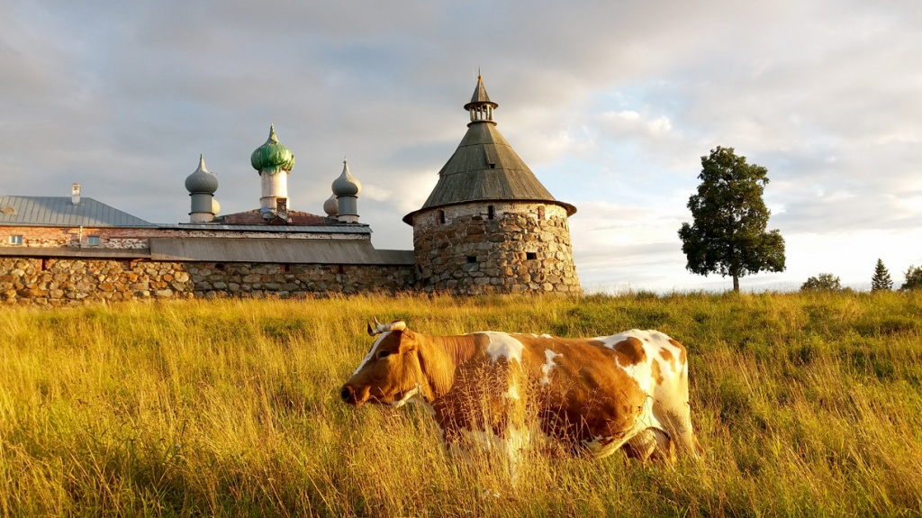 solovky and cow.jpg